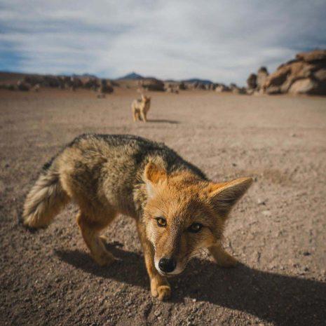 Wild Fox Bolivia Desert