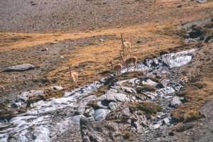 Alpacas, Vicuñas and Llamas in Rainbow Mountain