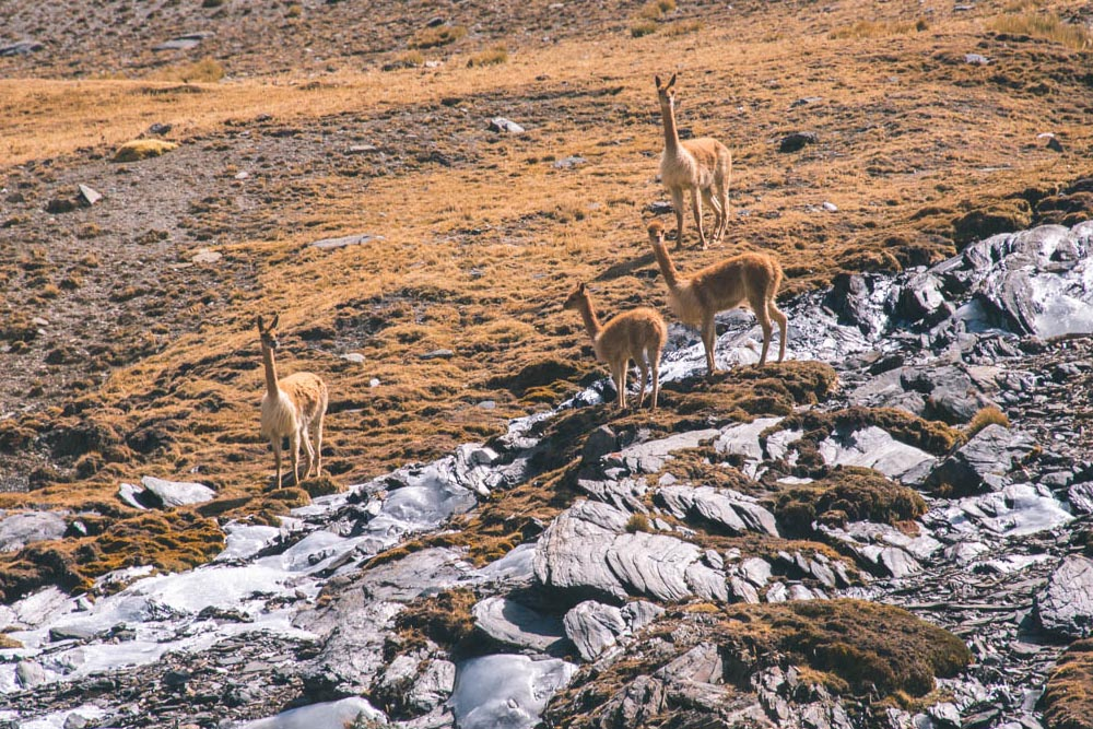 Alpacas, Vicuñas and Llamas in Rainbow Mountain
