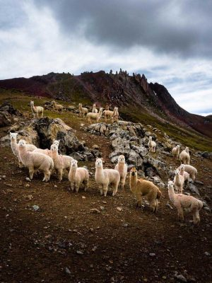 2 Alpacas Rainbow Mountain family