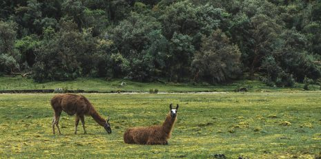 visit-south-america-santa-cruz-trek-4-days-llamas