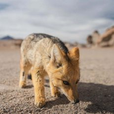 visit south america atacama to uyuni express 3 day foxes